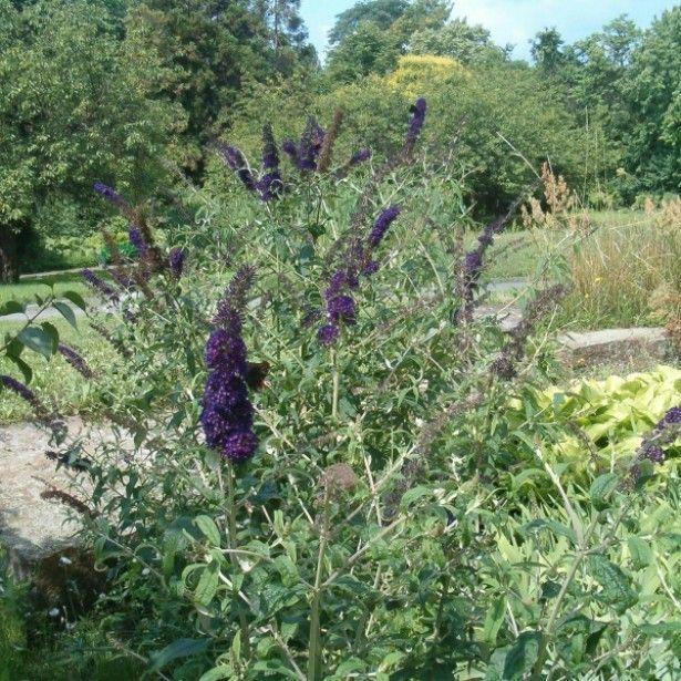 Buddleia davidii Black Knight - Arbre aux papillons | Fleurs violette, Arbuste