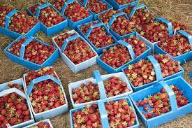 Viljelyä Pohjanmaalla Pohjanmaalla kasvatetaan esim. mansikoita kasvihuoneissa. Kerralla mansikoita saa hyvin hyvin paljon!  Kirjoittanut:olivia ja viltsu