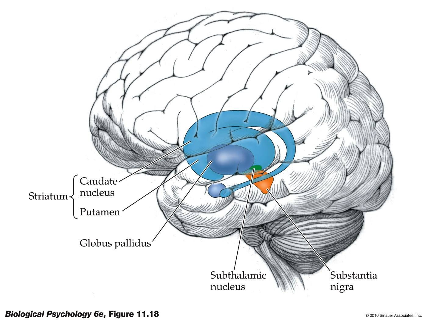 The diagram above shows the Basal Ganglia. The moderation of ...