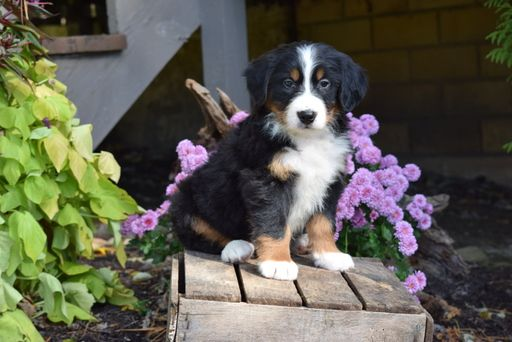 Bernese Mountain Dog Puppy For Sale In Fredericksburg Oh