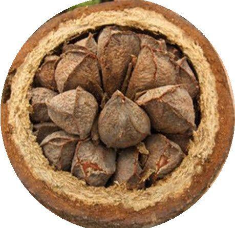 Garcinia Cambogia Trade Name