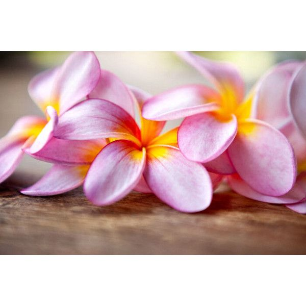 Plumeria Frangipani Soy Wax Tealights Homemade Hand Poured To 6 26 Liked On Polyvore Featuring Home Home Decor C Flower Meanings Frangipani Plumeria