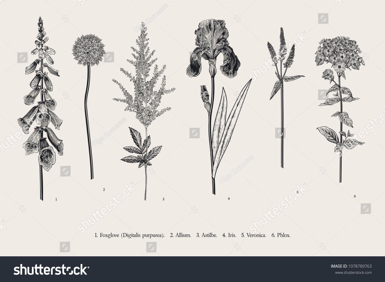 Set Garden Flowers Classical Botanical Illustration Foxglove Allium Astilbe Botanical Illustration Flower Sketches Botanical Illustration Black And White