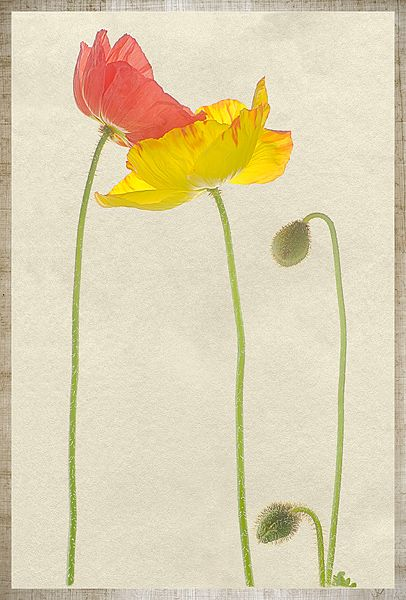 The poppy family david spindle flowerssigh pinterest the poppy family david spindle mightylinksfo