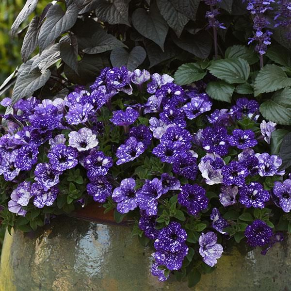 Headliner Night Sky Petunia Night Sky Petunia Petunias Night Skies