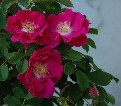 rosa gallica officinalis ou rose de provins la culture du rosier d buta v ritablement en france. Black Bedroom Furniture Sets. Home Design Ideas