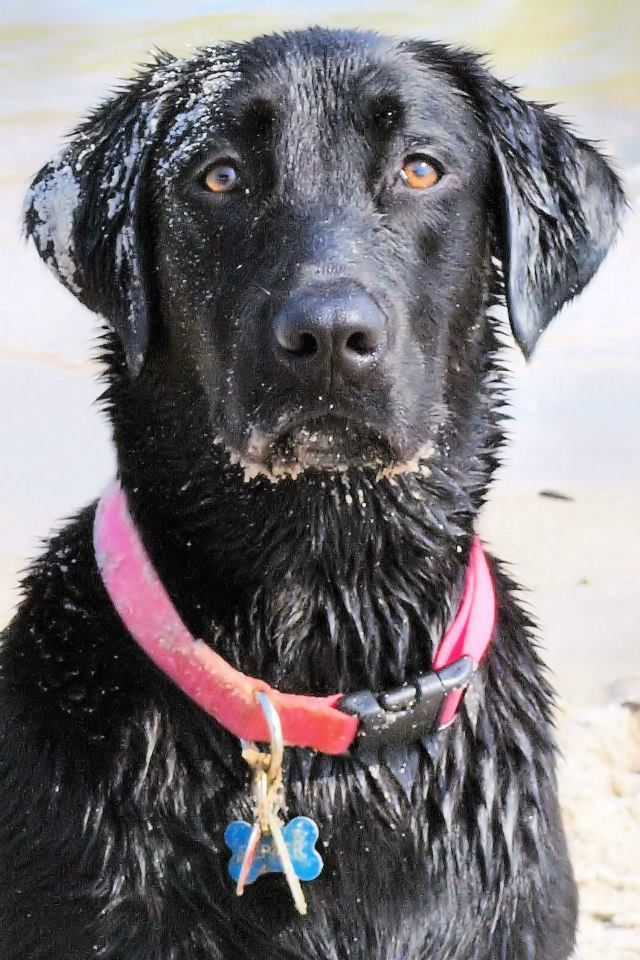 Black Lab At The Beach In Wilmington Nc Her Name Is Pepper