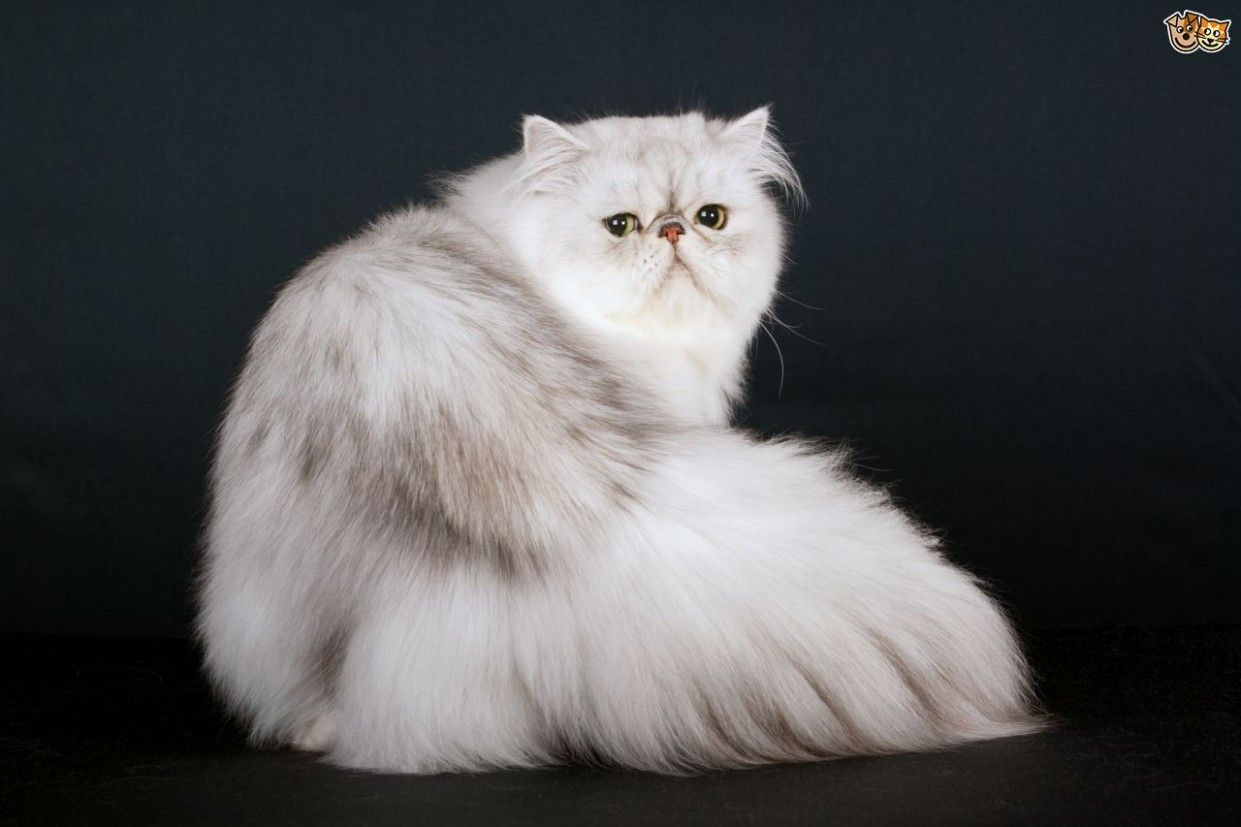 12 Best Persian Cat Purebred Cats Pictures In 2020 Pedigree Cats Purebred Cats Cat Breeds