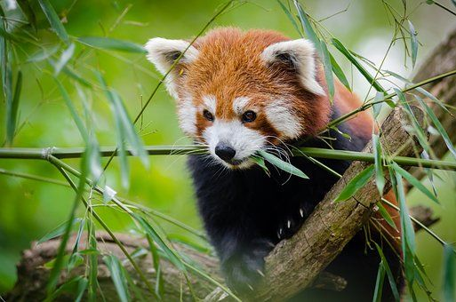 Tier, Niedlich, Gras, Roter Panda | Birds and animals | Pinterest ...