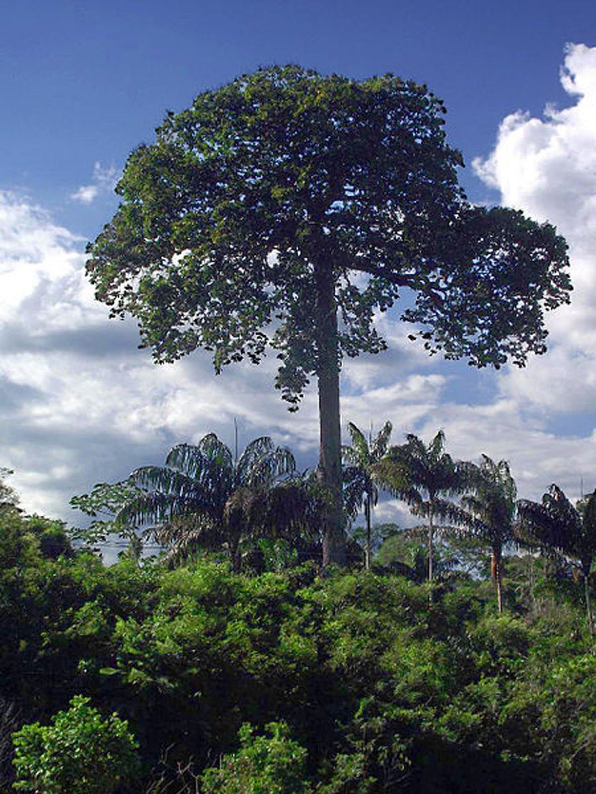 planting trees in the amazon rainforest