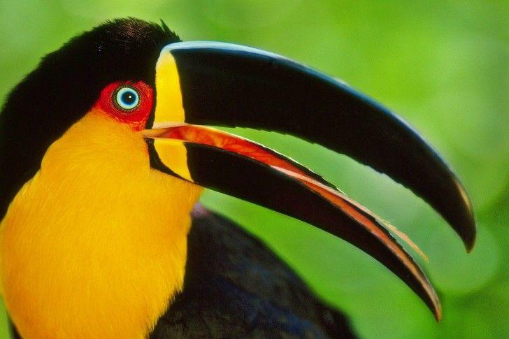 toucans | Birds Of Toucans Desktop Wallpapers and Backgrounds