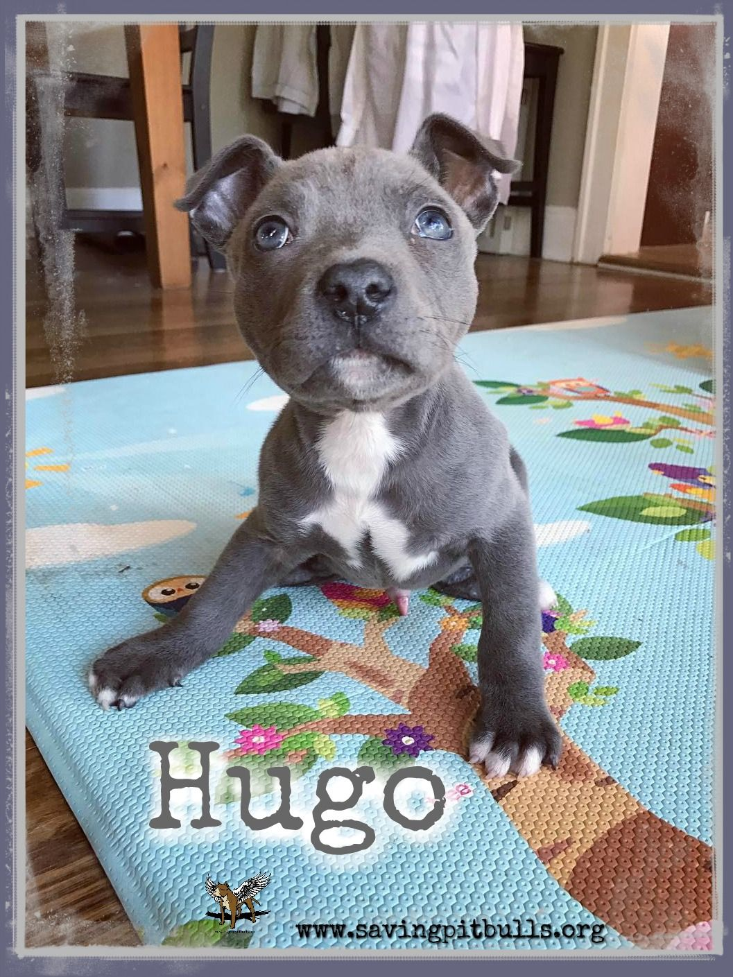 Gohugogo Hugo Is Our Little Swimmer Puppy He Will Walk