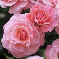 Роза секси ред флорибунда