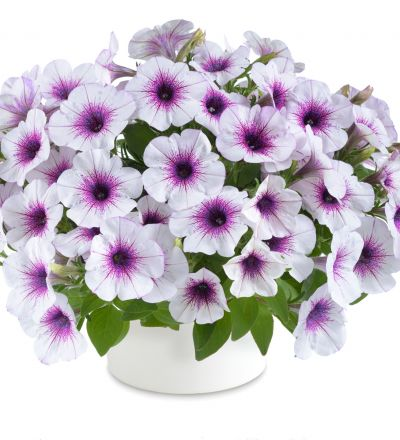 Riippupetunia Capella Purple Vein In 2020 Purple Veins Petunias Purple