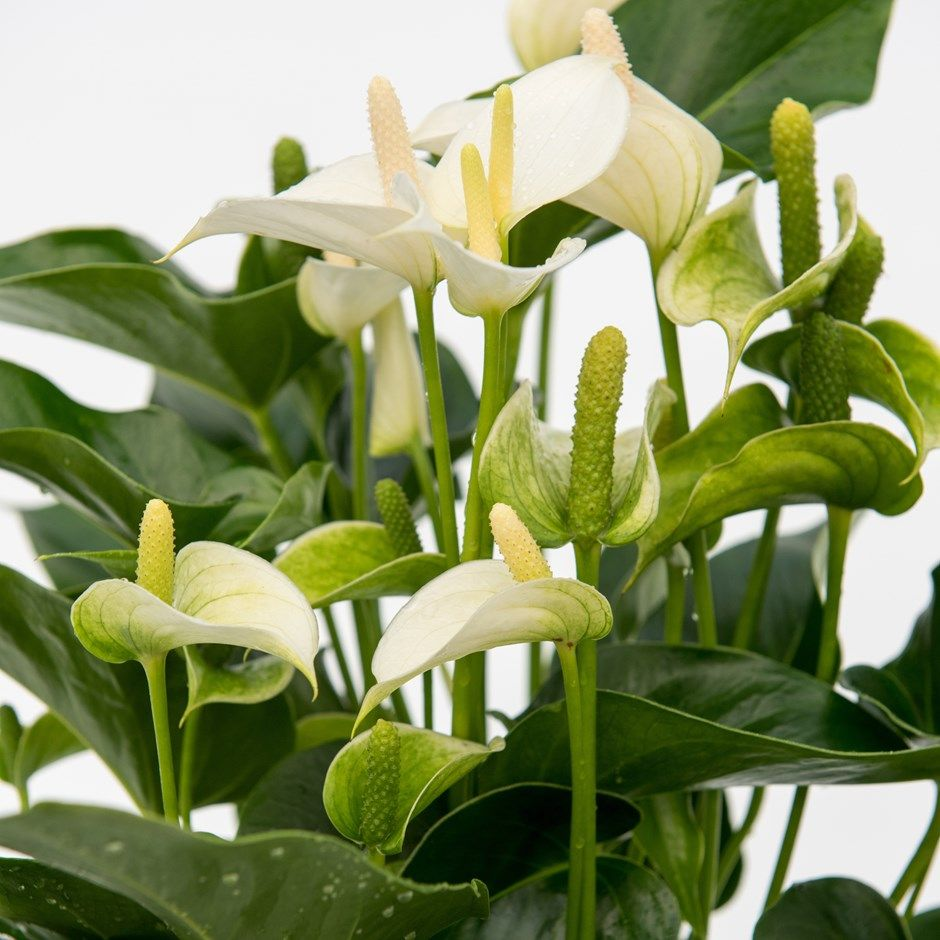 Buy Flamingo Flower Anthurium White Champion Anthefaqyr Pbr 17 99 Delivery By Crocus Buy Indoor Plants Anthurium Plants