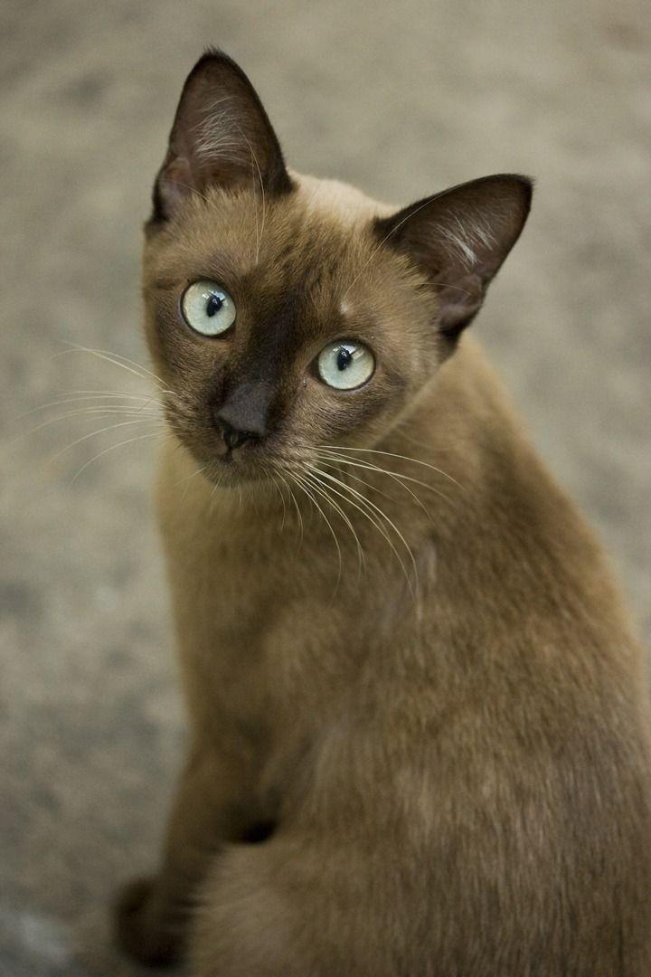 90c91d5d23f0ab1560b35780813c65f4 720 1080 Tonkinese Cat Burmese Cat Cats