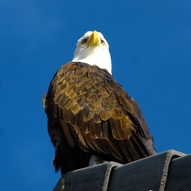 Bald eagle at Sparks Marina. #mynevada #baldeagle #sparksnevada #sparksmarina #birdsofinstagram