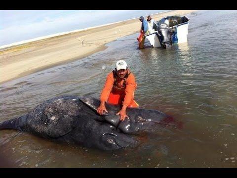 Two-Headed Whale Washes Ashore In Baja California - Fukushima Mutation?