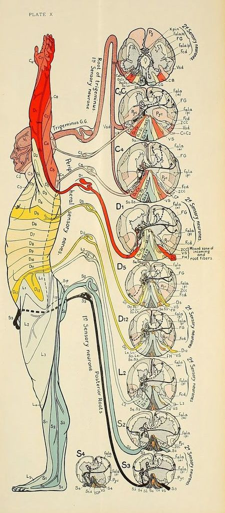 Nemfrog Plate X Diseases Of The Nervous System 1915 Anatomy