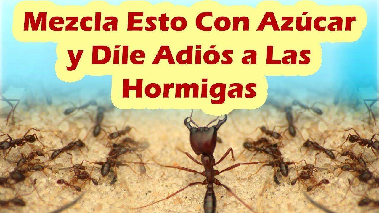 Como Acabar Con Las Hormigas Mezcla Esto Con Azucar Y Dile Adios A Las Hormigas Como Eliminar