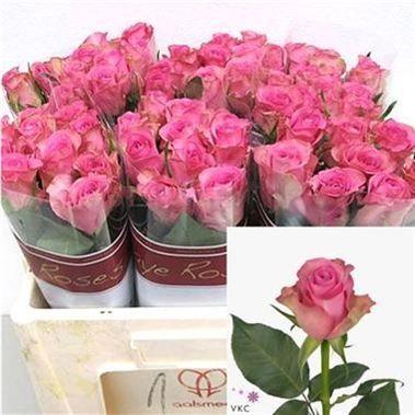 Rose Royal Jewel 60cm Is A Lovely Cerise Pink Cut Flower