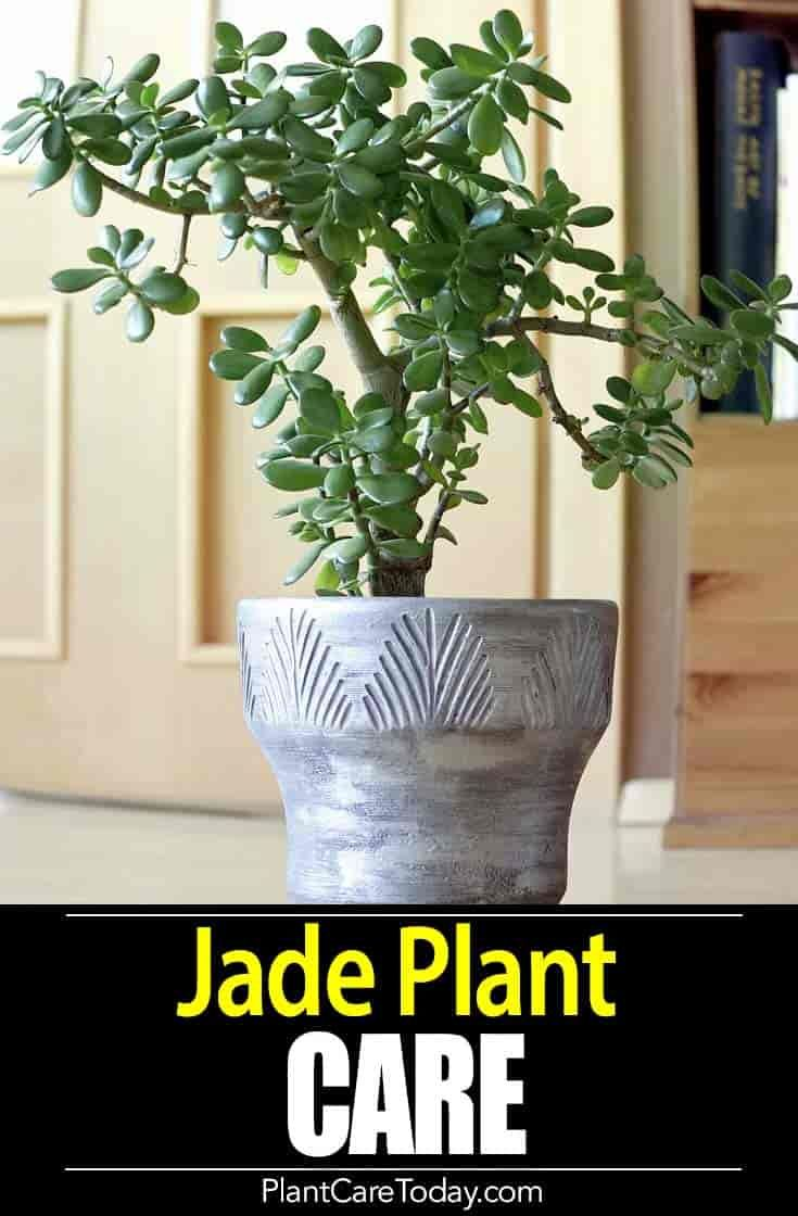 How to care for and grow the jade plant video pinterest jade