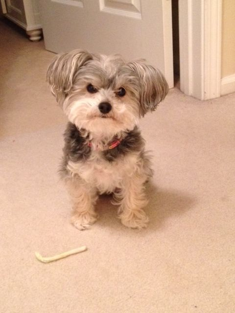 Yorkichon Google Search Animal Love Pinterest Dogs Puppies