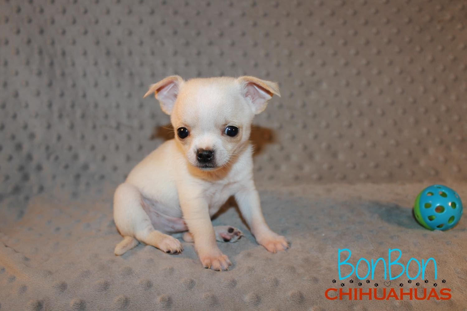 Chihuahua Puppies For Sale Chihuahua Puppies Chihuahua Baby