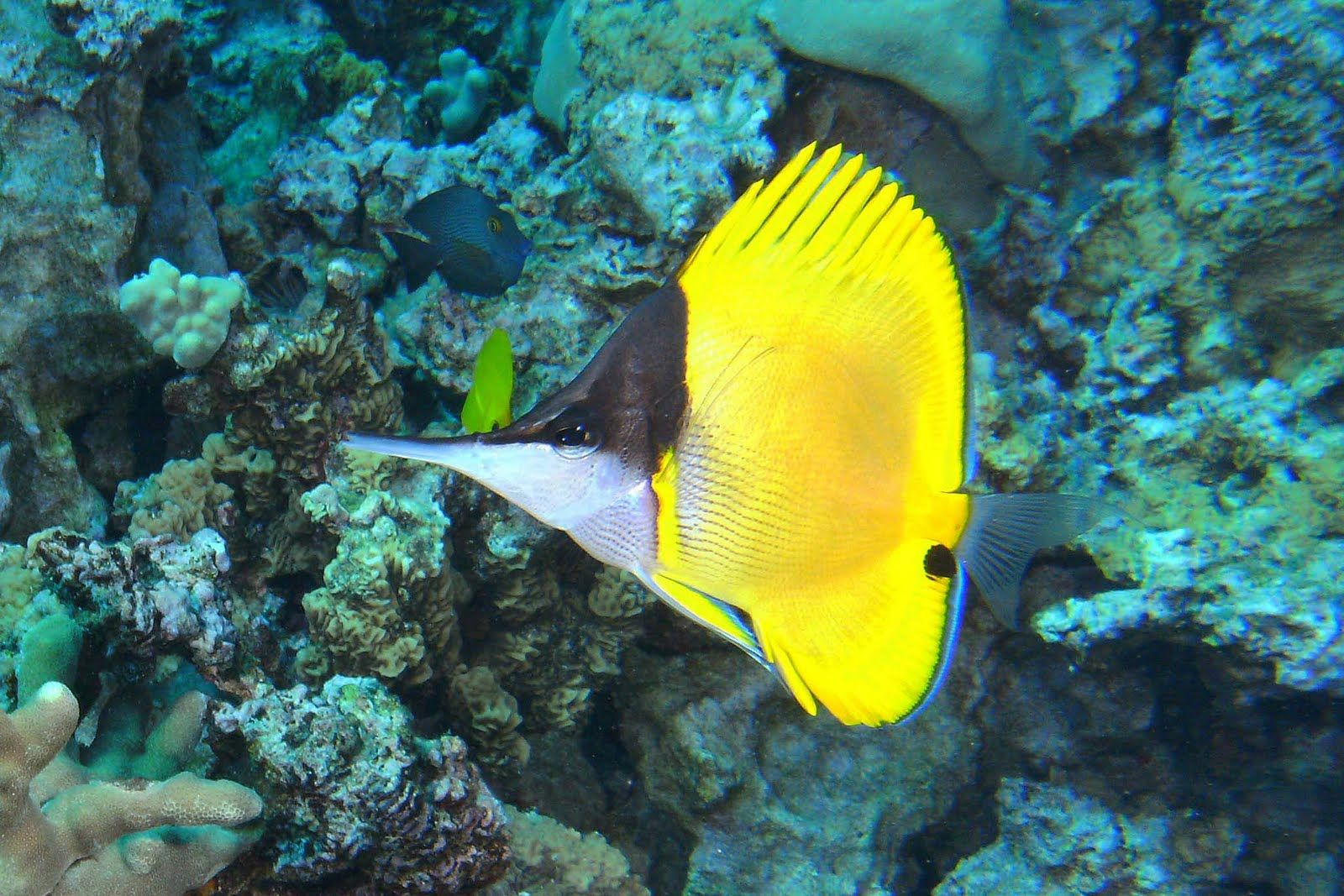 Yellow longnose butterflyfish - Range: Indo-Pacific: Red Sea and East Africa to the Hawaiian and Easter islands. Eastern Pacific: southern Baja California, Mexico and from the Revillagigedo and Galapagos Islands
