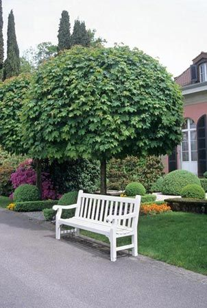 norway maple 39 globosum 39 acer platanoides 15 25 39 tall. Black Bedroom Furniture Sets. Home Design Ideas