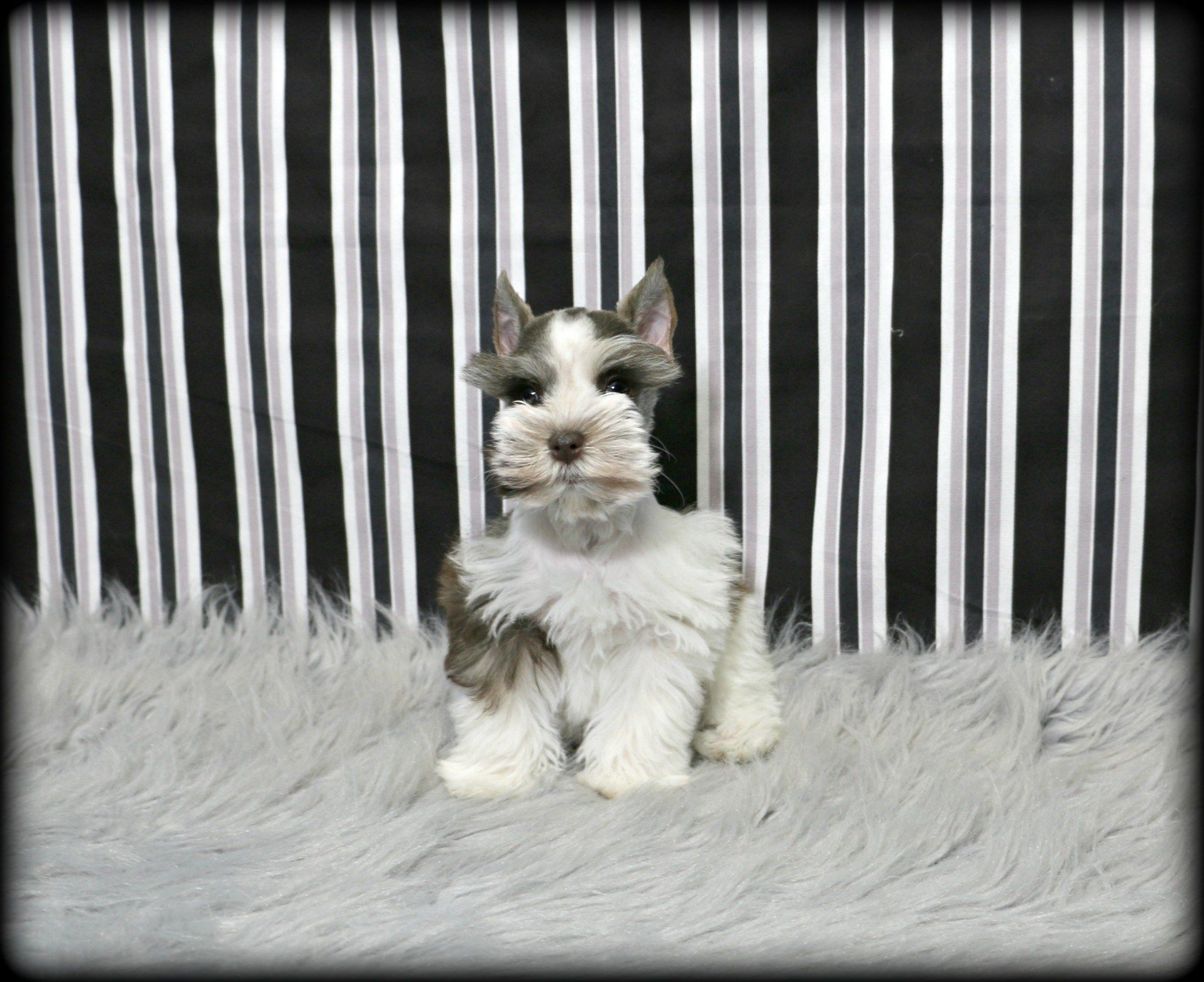 Puppies For Sale Petland In Overland Park Kansas City Puppies For Sale Puppy Friends Puppies