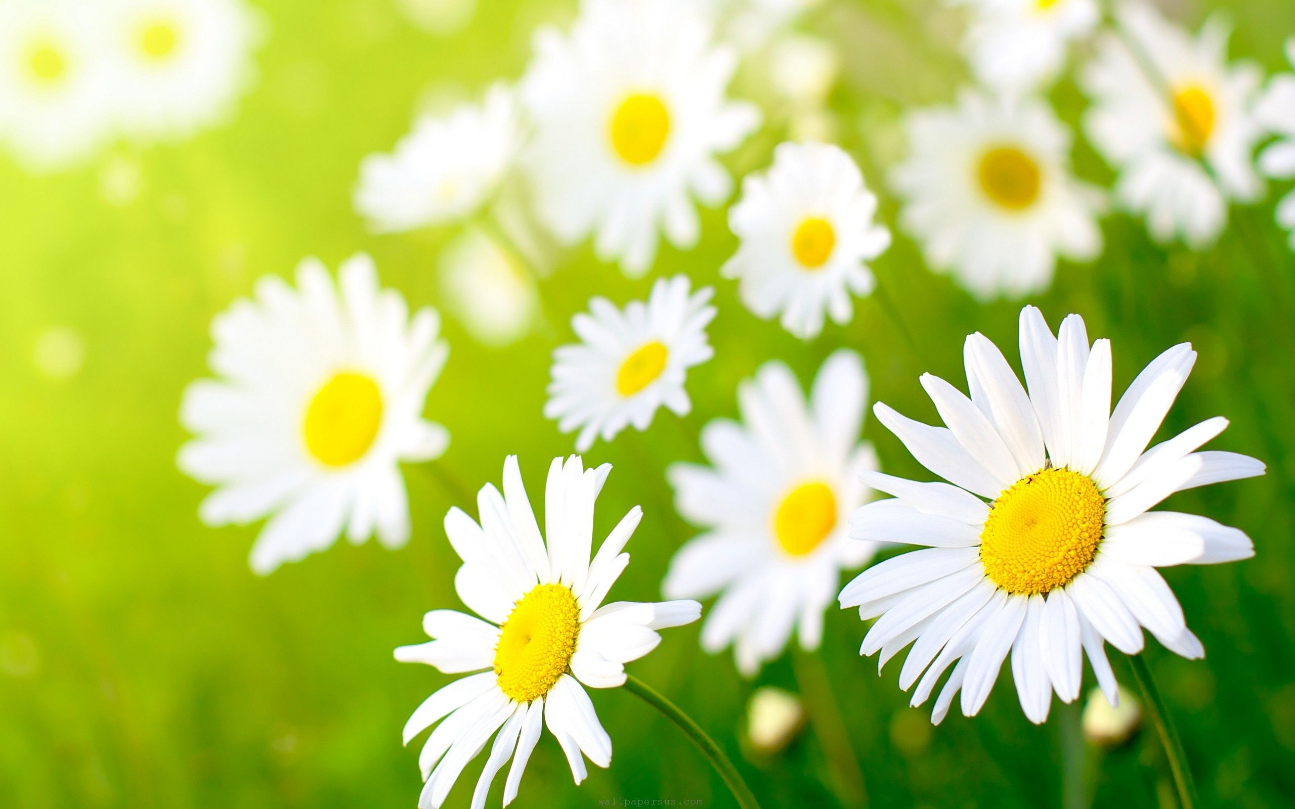 Daisies pictures flowers daisies beauty colors daisy field daisies pictures flowers daisies beauty colors daisy field flowers wallpapersus izmirmasajfo