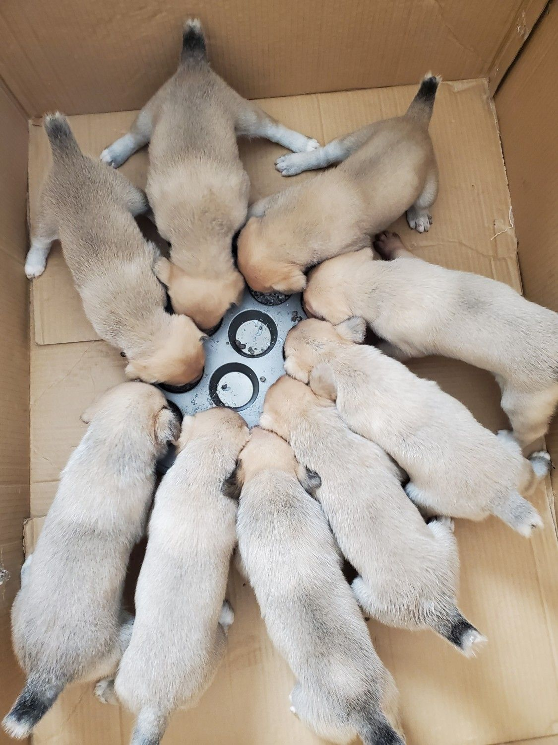 Central asian shepherd puppies for sale las vegas nv in