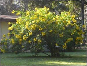 Very Large Cia Shrub Covered In Bright Yellow Flowers Beware Of Invasive Look Alikes