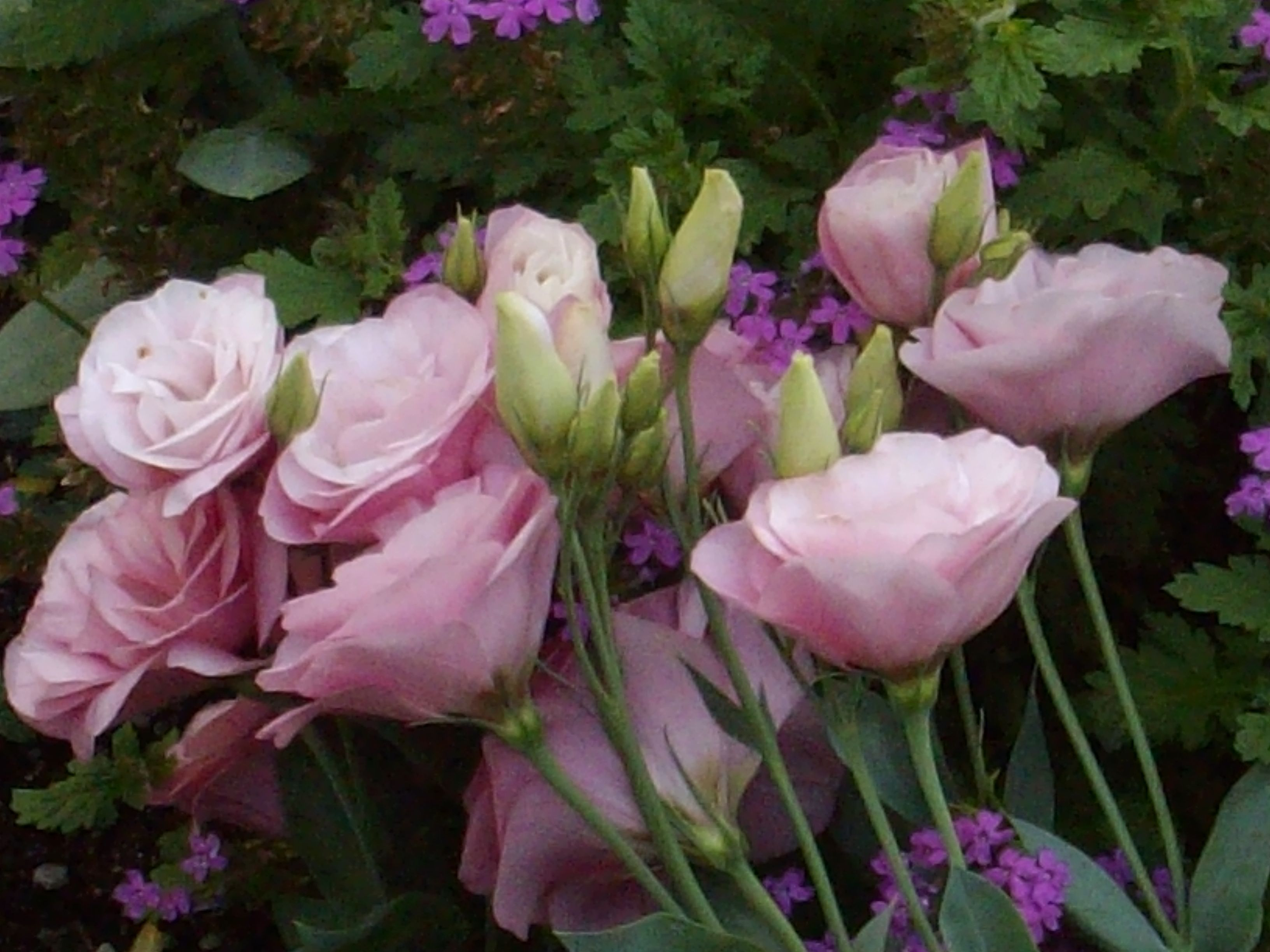 lisianthus the first thing lisianthus plants are known for are their beautiful bell shaped. Black Bedroom Furniture Sets. Home Design Ideas