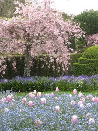 Pin By Jill Watson On Outdoors Cherry Trees Garden Flowering Cherry Tree Weeping Cherry Tree