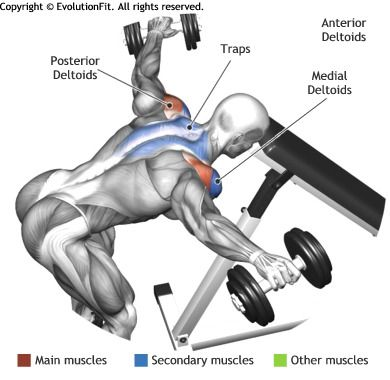 SHOULDERS - BENT OVER DUMBBELL REAR DELT RAISE WITH HEAD ON BE ...