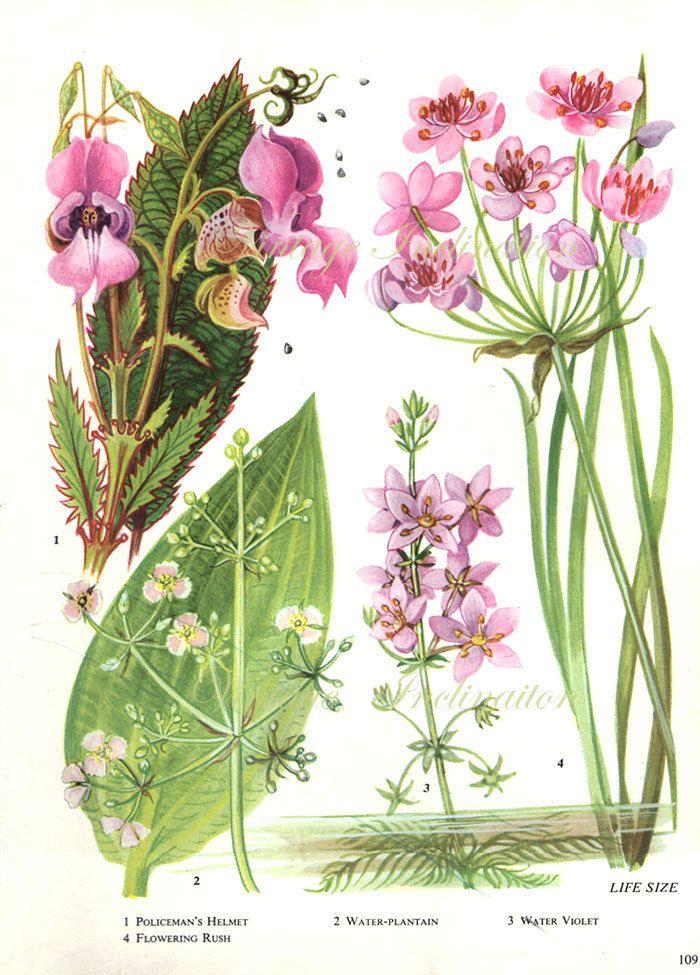 British Vintage Botanical Print Flowering Rush Water Violet