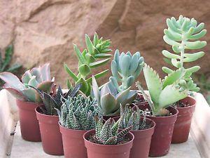 Lot De 10 Succulentes Variees Cactus Plante Grasse Succulente