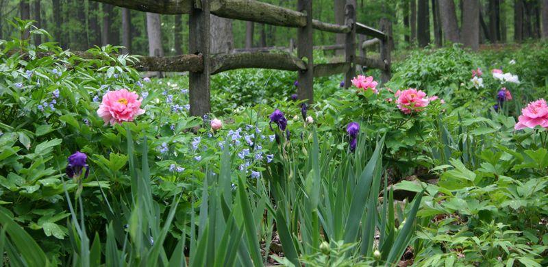 Peony Garden Planning companion plants siberian iris Plant