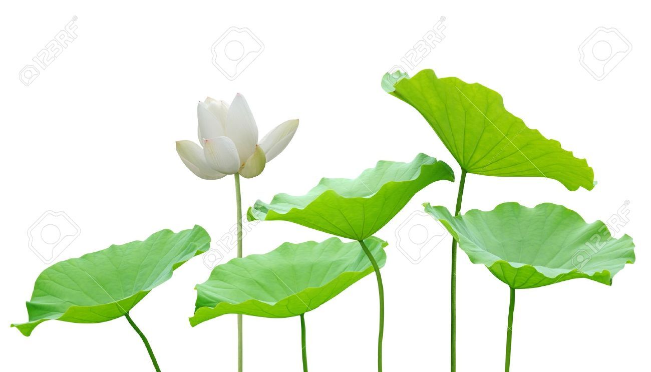 11588998 lotus flower and leaf isolated on white stock photog 11588998 lotus flower and leaf isolated on white stock photog 1300743 pixels izmirmasajfo