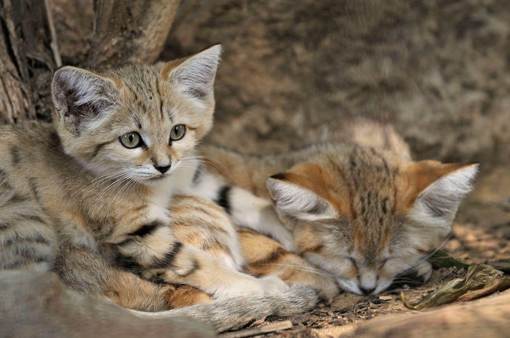 sand cat (With images) Wild cat species, Sand cat, Super