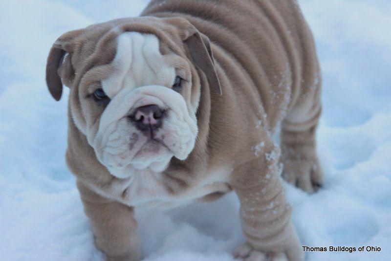 Thomas Bulldogs Of Ohio Rare Lilac Bulldogs Chocolate Tri