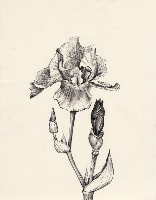 Pin By Alex Stolz On Forget Society Iris Flower Tattoo Iris Tattoo Flower Drawing