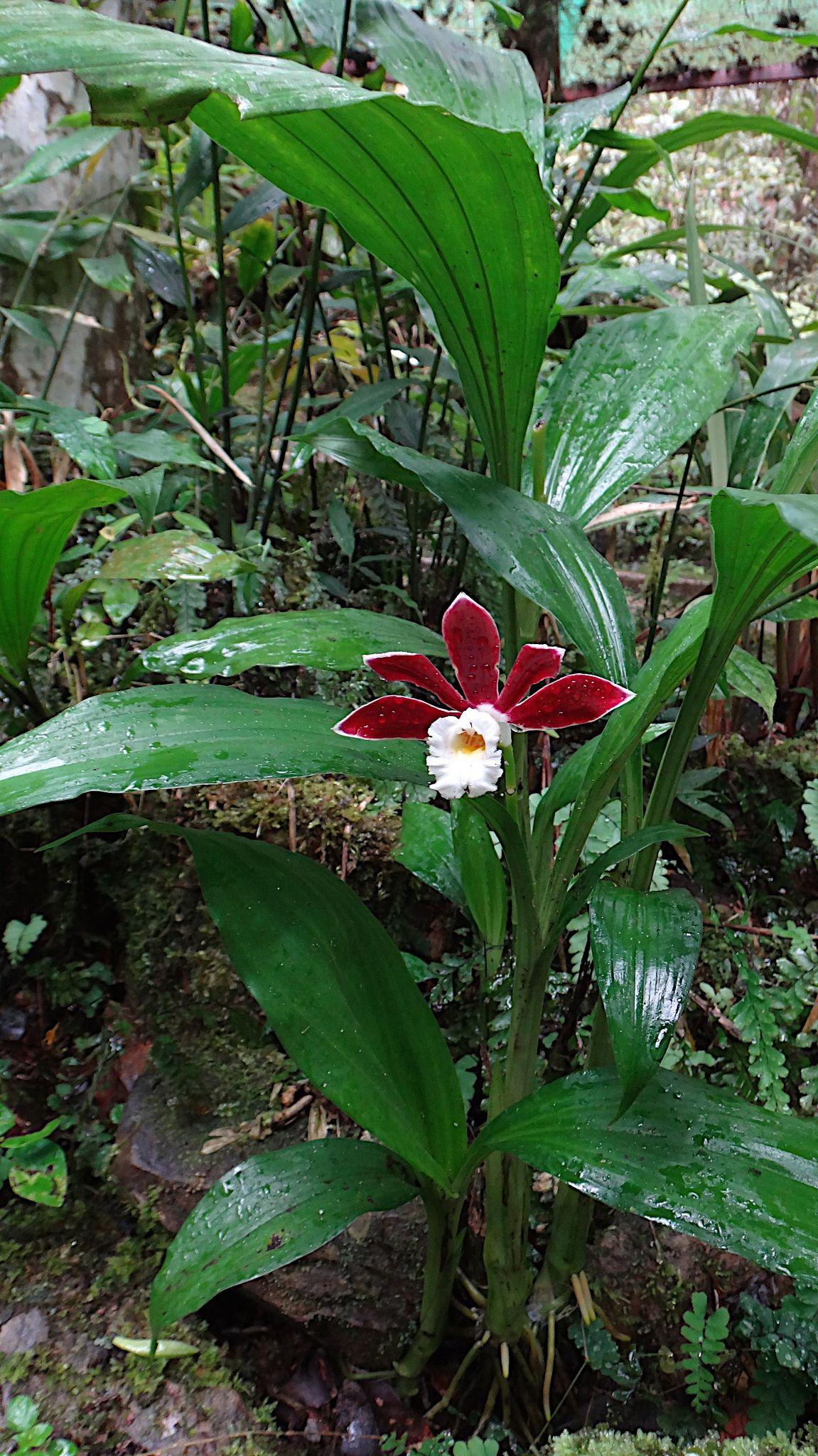 Phaius subtrilobus Ground orchids, Orchid plants, Types