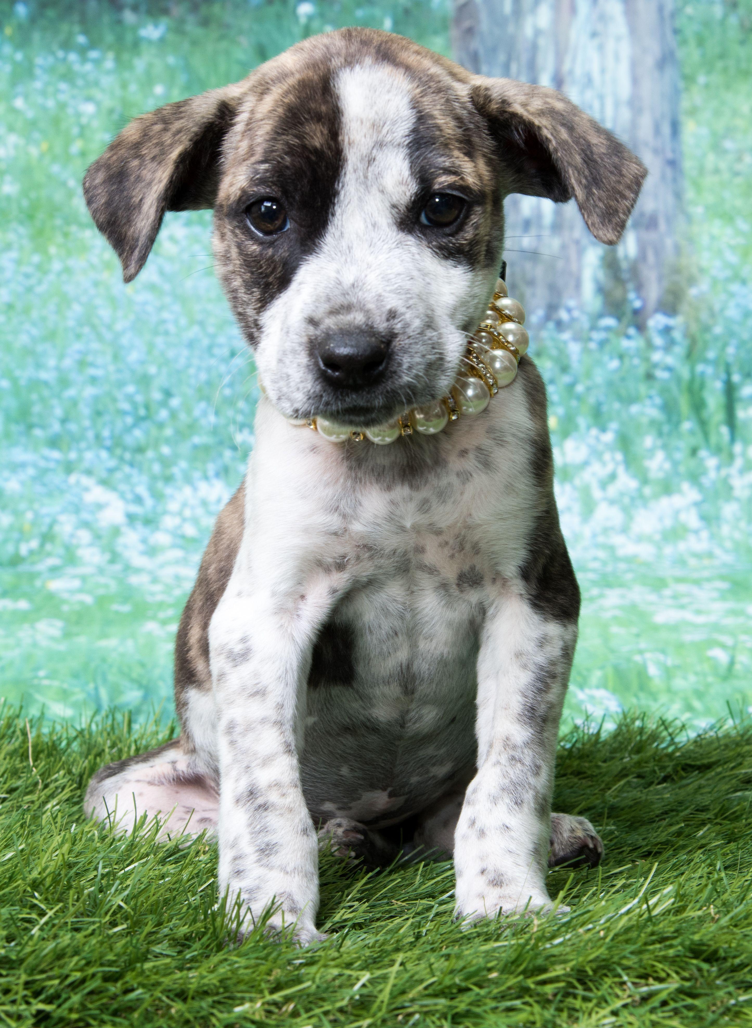 Beagle Dog For Adoption In Denver Co Adn 566140 On Puppyfinder