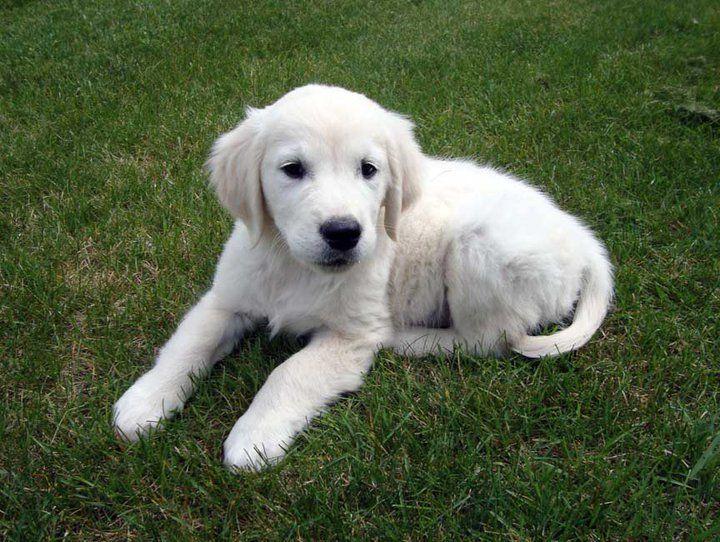 Kyon Golden Retriever Golden Retriever Retriever Puppy Retriever
