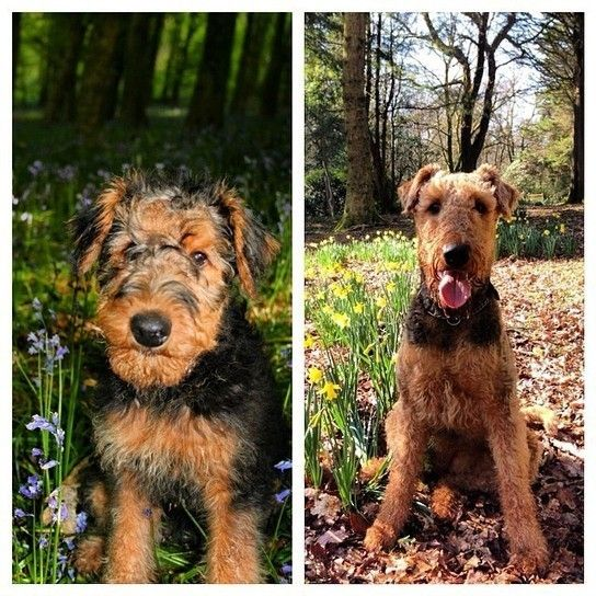 Little/Big (With images) Airedale puppy, Airedale