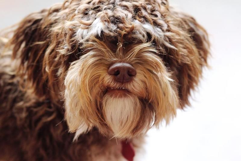 Meet Jules, a Petfinder adoptable Poodle Dog | Seattle, WA | Jules the Comedian can cheer up the cloud of days with his joyful and goofy spirit. He is...