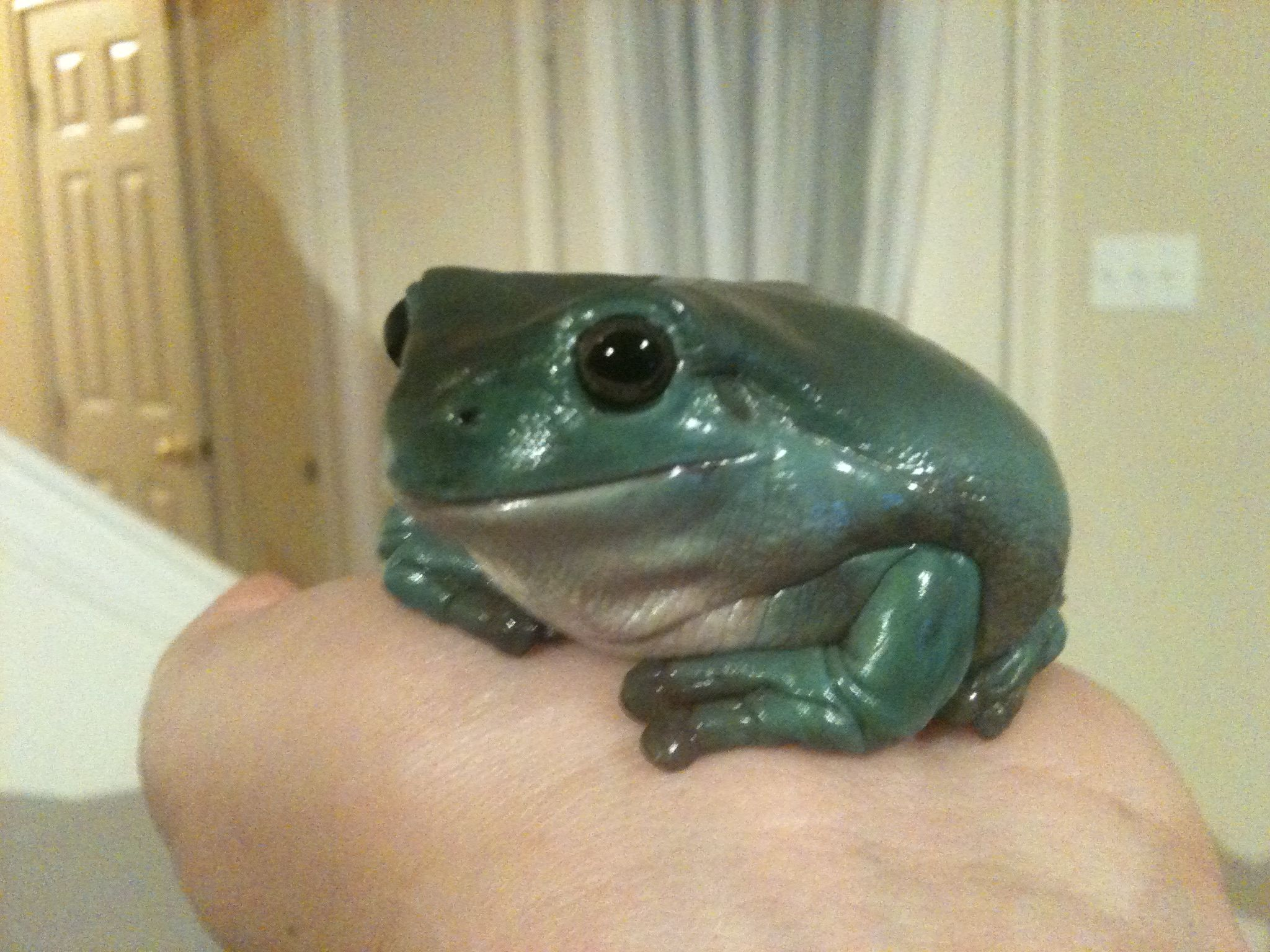 Whites Dumpy Tree Frog My Life Of Animals Pinterest Dumpy - Frog wearing two snails as hat becomes star of hilarious photoshop battle